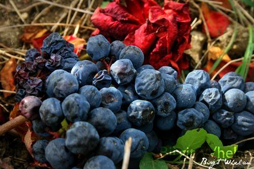 Grapes and Soil - Birgit Whelan