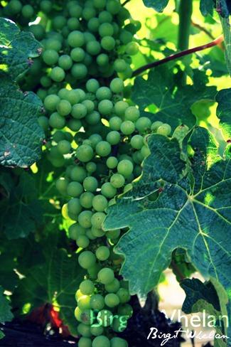 Grapes, Green Leaf - Birgit Whelan