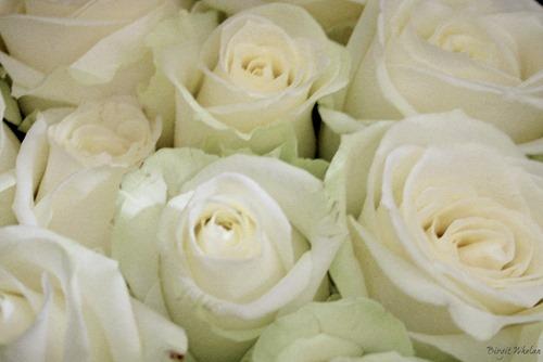 White Roses ~ Birgit Whelan